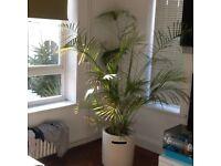 Large palm plant with pot