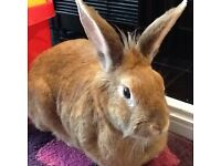 Lovely Female Rabbit Free to Good Forever Home