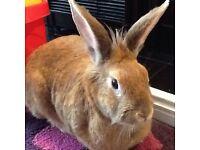 Lovely Female Rabbit Free to Good Forever Home
