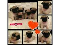 **gorgeous fawn pugs ** ready 29th April