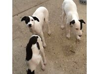 Lurchur puppies for sale