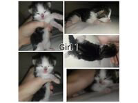5 kittens to reserve, 2 girls. 3 boys. Ready September. Mum Oriental/Bengal. Dad Bengal.