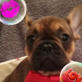 Kc registered French bulldog puppies 4 remain from litter of 8 mum and dad can be seen cctv in oper