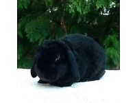 Plush mini lop for sale