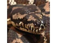 Cb12 irian jaya carpet python