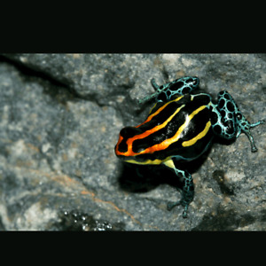 Dart frogs for sale