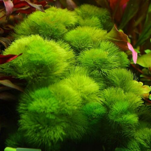 BUY 2 GET 1 FREE!!! CABOMBA GREEN -Freshwater Aquatic Live Plants  SUPER PRICE!!