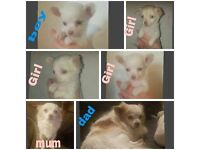Gorgeous Cream Chihuahua Puppies