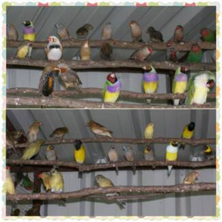 Finches For Sale Sydney Region Preview