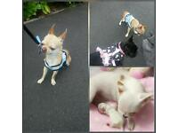 teacup chihuahua pedegree boy 2 yers old