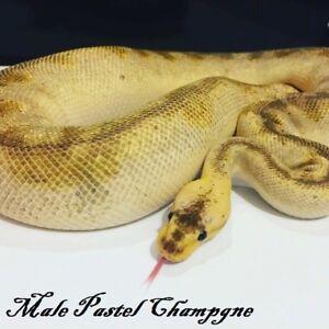 Male Proven Breeder Pastel Champagne