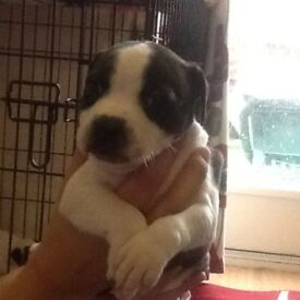 Staffordshire bull terrier puppies, blue/black and white