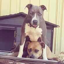 American Staffies Maitland Maitland Area Preview
