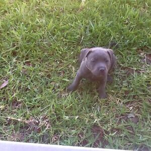 Blue Staffie pups Little River Outer Geelong Preview