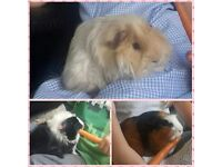 x3 boy guinea pigs 25 pounds for all