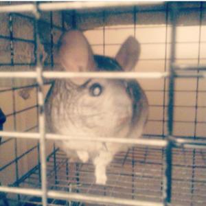 Chinchilla w/ big cage to good home