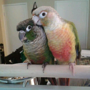 2 yrs old Conures(Harley&Pinapple)