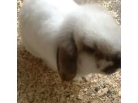 Free rabbit female lop