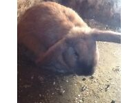 6 month old male mini lop needs a home