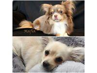 Mafias Chihuahua puppies
