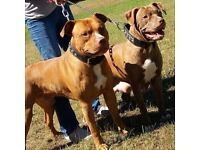 Bully type pups for sale