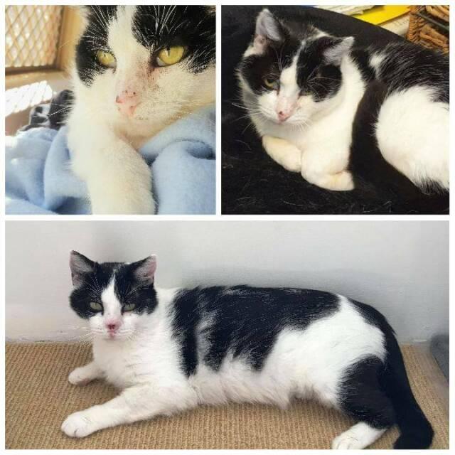 3056 Marshall Cat For Adoption Vet Work Included Cats Kittens Gumtree Australia Stirling Area Balcatta 1256476581
