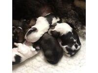 Stunning litter of Lhasa apso puppies