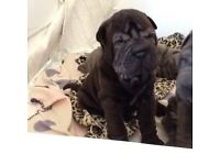 Beautiful Shar pei puppy ( Coco)