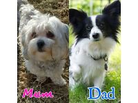 Malshi x papchi puppies for sale