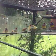 GOULDIAN FINCHES  FOR SALE  AT WINSTON HILLS Winston Hills Parramatta Area Preview