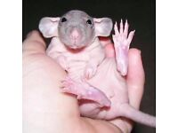 Dumbo Hairless Rex Rats