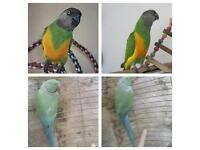 Senegal parrot Indian ringneck