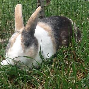 Purebred Dutch Rabbit Elizabeth Playford Area Preview