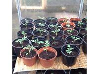 Red cherry tomato plants
