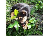 Beddy/whippet/greyhound x collie greyhound. 10 weeks old.