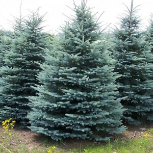8FT + SPRUCE TREES SUPER SALE