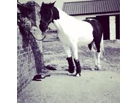 """14""""2, 5 years old Piebald Mare"""
