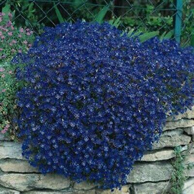 Rock Cress- Aubrieta- Blue- 50 Seeds- BOGO 50% off SALE
