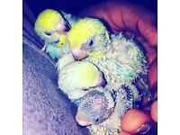 Budgies to be sold by 03/12/16