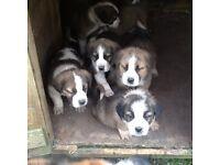 St. Bernard pups for sale