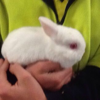 Dwarf Netherland Rabbits Coromandel Valley Morphett Vale Area Preview