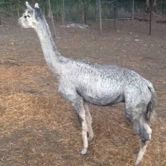 Light Grey Entire Male Suri Alpaca