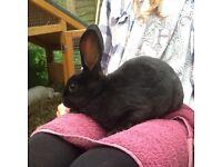 Mini Rex Baby Rabbits - last 2 from litter £10