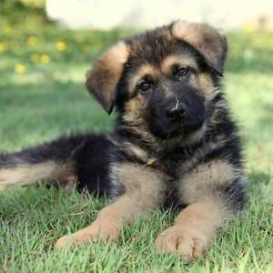 German Shepherd Purebred Puppies Tallebudgera Gold Coast South Preview