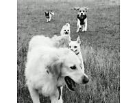 Dog walking/boarding