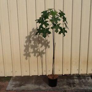Advanced Broad Leaf Bottle Tree (Brachychiton australis) Thornton Lockyer Valley Preview