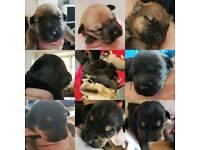 Alsatian x Rottweiler pups