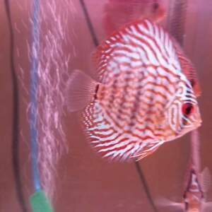 Beautiful discus fish on sale now! Locally bred!