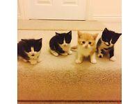 Two Black & White Kittens Left For Sale