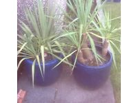 Two potted Yucca plants.